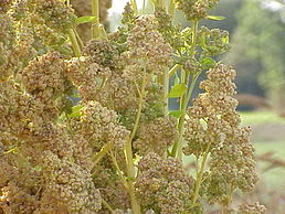 258px-Chenopodium_quinoa0
